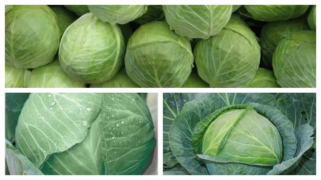 Крупнокочанные сорта капусты