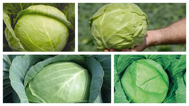 Лучшие сорта капусты для квашения