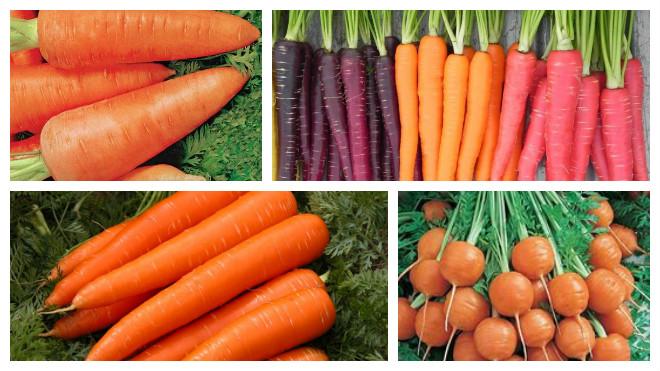 Сорта морковки для длительного хранения