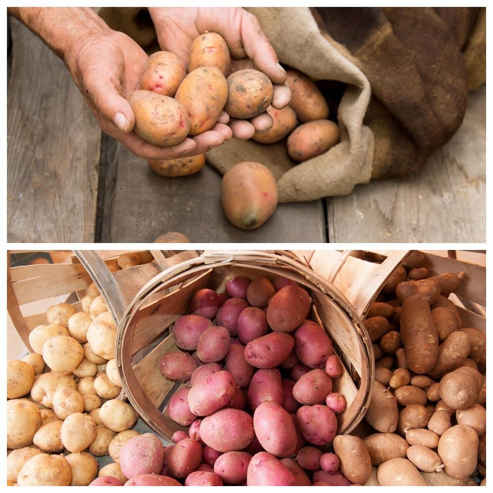 Хранения картофеля в погребе