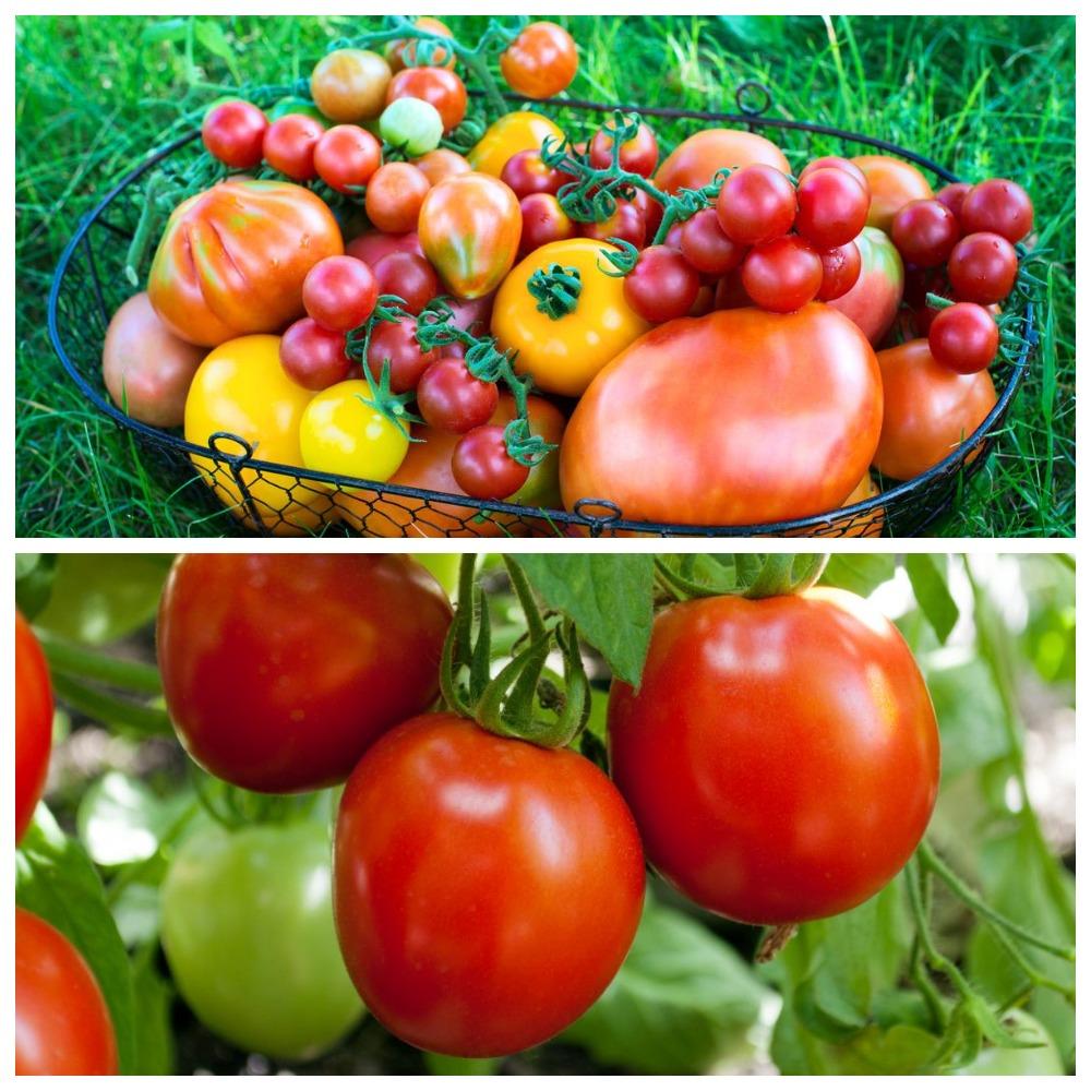 Сорта томатов для хранения