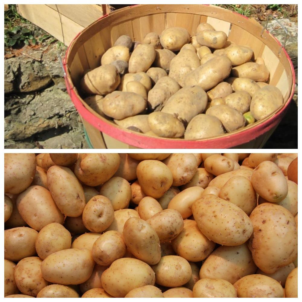 Температура, условия в погребе для хранения картофеля