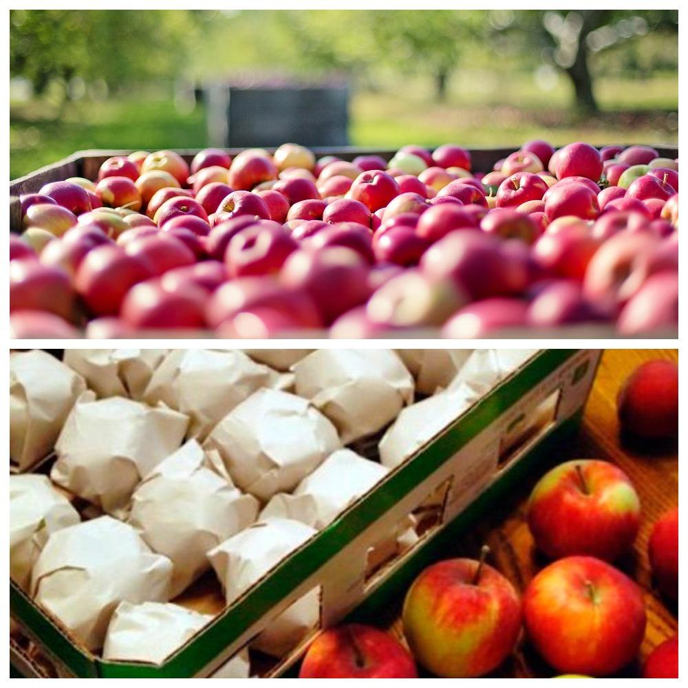 Основные правила хранения яблок