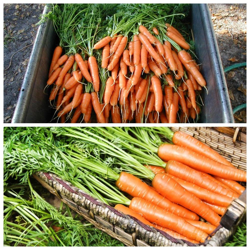 Где и как хранить морковь в квартире