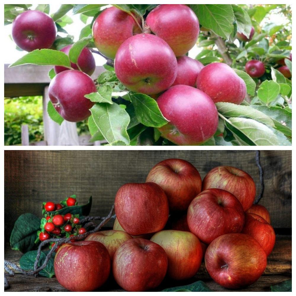 Хранение яблок в домашних условиях - как сохранить на зиму в погребе